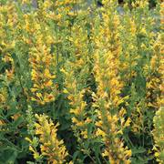 Kudos ™ Yellow Agastache