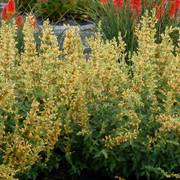 Kudos ™ 'Yellow' Agastache