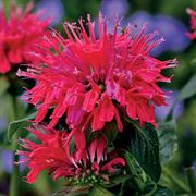 Monarda Cherry Pops Sugar Buzz ®