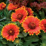Sunset Flash Blanket Flower