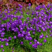 Campanula Jelly Bells