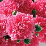 Dianthus Scent First® Pink Fizz