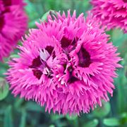 Fruit Punch® Spiked Punch Dianthus