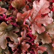 Heuchera Cinnamon Curls