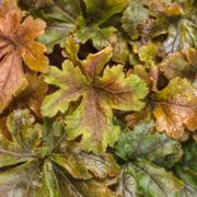 Heucherella Hopscotch