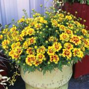 Coreopsis Lil Bang™ Enchanted Eve - Pack of 6
