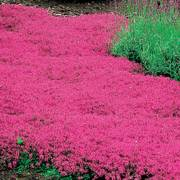 Red Creeping Thyme - Pack of 6