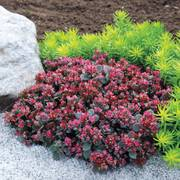 Sunsparkler® Blue Elf Stonecrop
