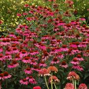 Amazing Dream Coneflower