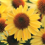 Echinacea Sombrero® Sandy Yellow