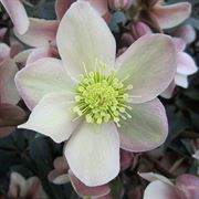 HGC® Love Bug Lenten Rose