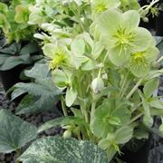 HGC® Snow Fever Lenten Rose