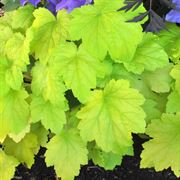 Electric Lime Coral Bells