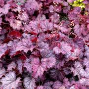 Heuchera Little Cutie™ Frost