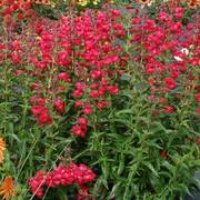Cha Cha Cherry Penstemon