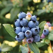 Vaccinium Bushel and Berry™ Blueberry Perpetua