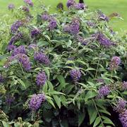 Lo & Behold® Purple Haze Butterfly Bush
