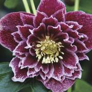 Helleborus Winter Thriller™ Showtime Ruffles