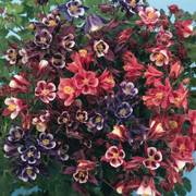 Winky Columbine Mix