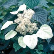 Schizophragma Moonlight
