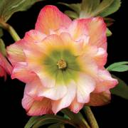 Helleborus Winter Jewels Amber Gem
