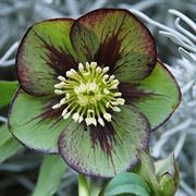Helleborus Winter Jewels Jade Star