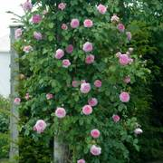 James Galway Rose