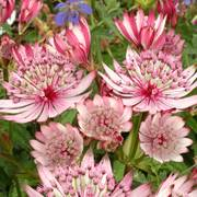 Astrantia Major Sparkling Stars Pink PBR