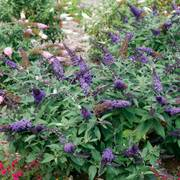 Pugster Blue™ Butterfly Bush