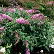 Pugster Pink ® Butterfly Bush
