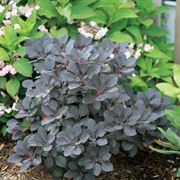 Cotinus Winecraft Black®