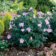 Pollypetite™ Rose of Sharon