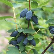 Lonicera Yezberry® Honey Bunch™