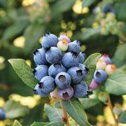 Bushel and Berry™ Blueberry Perpetua