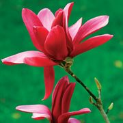 Burgundy Star Magnolia