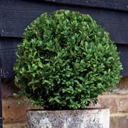 Laurus nobilis Sweet Bay Shrub