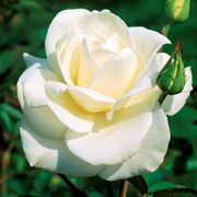 John F. Kennedy Hybrid Tea Rose