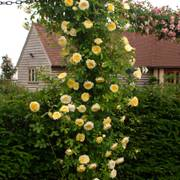 The Pilgrim® Shrub Rose