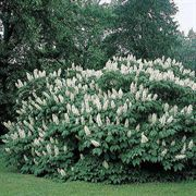 Bottlebrush Buckeye