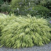 Golden Hakone Grass