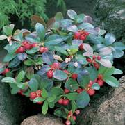 Gaultheria Creeping Wintergreen