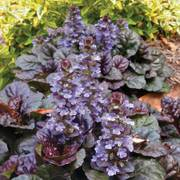Black Scallop Bugleweed - Pack of 6