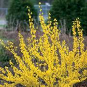 Forsythia Show Off®
