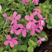 Home Fires Creeping Phlox (pack of 6)