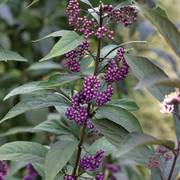 Purple Pearls™ Beautyberry