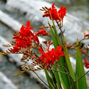 Lucifer Crocosmia bulbs
