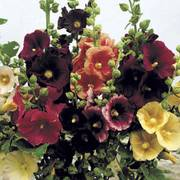 Old Barnyard Mix Hollyhock