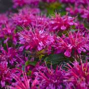 Pardon My Purple Bee Balm
