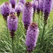 Liatris Kobold Original - Pack of 5