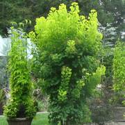 Cotinus Golden Spirit